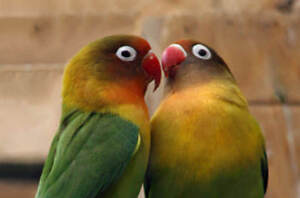 fisher lovebird for sale AT T T PETS