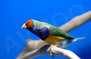 DIAMANT DE GOULD M/F DISPONIBLE COULEURS ASSORTIES