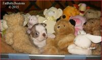 CKC registered, Boston Terrier Pup, Ready to join her new family