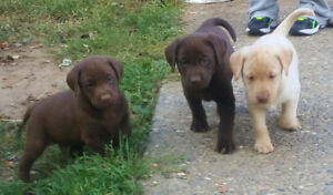 Chocolate and Blond Lab Puppies