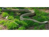 Granite Burmese python
