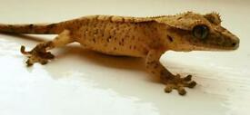 Crestied geckos