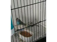 4 budgies and cages for sale