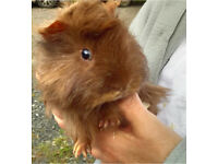 Long Haired Guinea Pigs For Sale