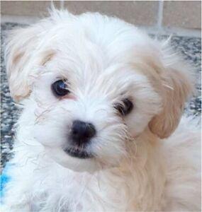 💕💕💕toy poodles x Maltese (moodles)💕💕💕
