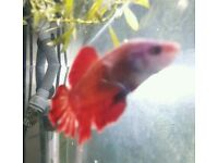Betta fish giant plakat