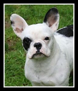 CKC reg young french bulldog not spayed