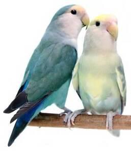 Lovebird (Urgent) Butler Wanneroo Area Preview