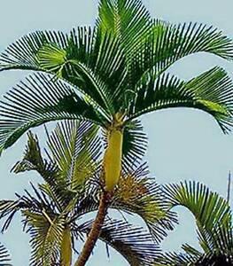 Chambeyronia Houailou - New Rare Palmtree Casula Liverpool Area Preview