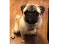 Pug 6 month old with fully pedagree papers