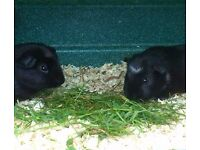 Two Male Baby Guinea Pigs
