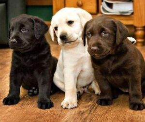 Labrador Retriever Puppy (Black, Chocolate, Yellow, Mix Breed)