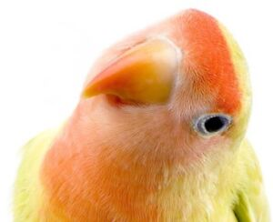 1 year old male lovebird 100.00,  hand tamed