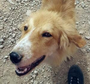 """Young Male Dog - Golden Retriever-Border Collie: """"OLIVER"""""""