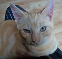 "Young Male Cat - Domestic Short Hair: ""Wilfred"""