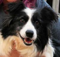 "Adult Female Dog - Border Collie: ""Temple"""