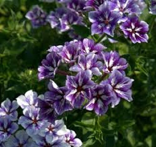 30 fragrant sugar stars phlox flower seeds shade perennial ebay 30 fragrant sugar stars phlox flower seeds shade perennial mightylinksfo