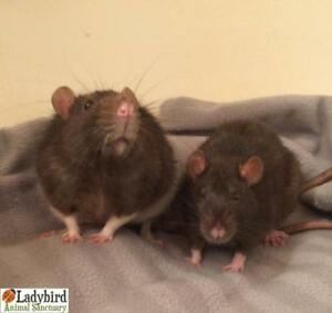 "Adult Male Small & Furry - Rat: ""Pontiac and Portia"""