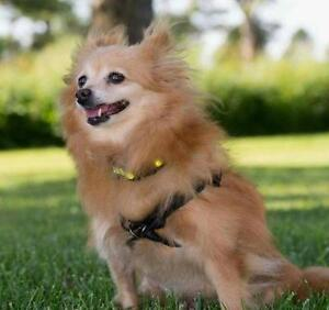 "Senior Female Dog - Pomeranian: ""Scarlett"""