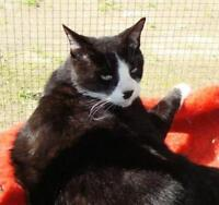 "Adult Male Cat - Domestic Short Hair-black and white: ""Pluto"""