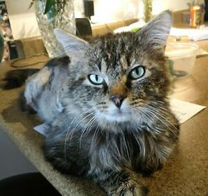 "Adult Male Cat - Tabby - Grey: ""Mystery"""