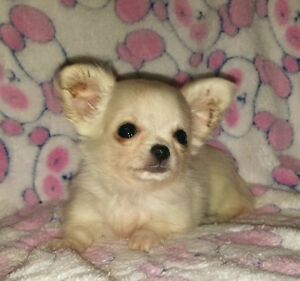 Gorgeous Tiny CKC Purebred Chihuahua Puppies