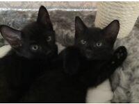 Russian black/Bombay tabby kittens