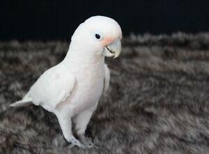 Perroquet cacatoès goffin