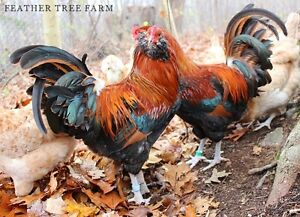 Wheaten Ameraucana roosters for sale