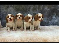 King charles cavalier spainel puppies