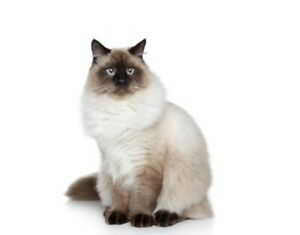 Looking for a male Siamese cat