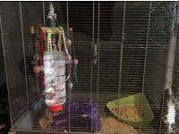 2 Male rats and cage/accessories for sale