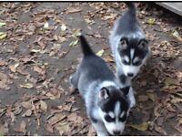 Husky puppy last one