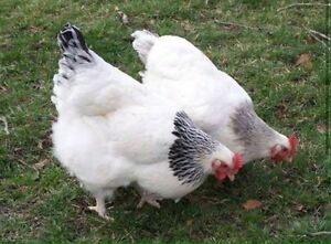 laying / POL hens for good homes only Wanniassa Tuggeranong Preview