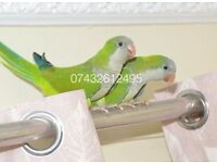 Wonderful Quaker 12 weeks talking parrot £100