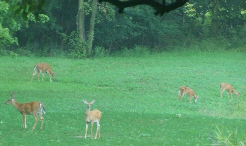 1 lb Goat Pasture Seed Mix Deer Plot Seeds Turkey Clover Chicory Alfalfa Pet