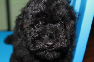 Adorable Teddy Bear face black pearl  Toy poodle puppies
