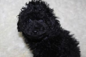 Beautiful toy black male poodle