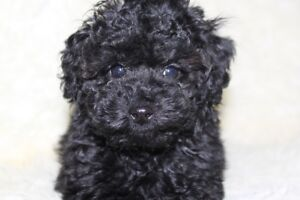 Gorgeous toy female black pearl poodle puppy
