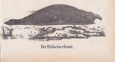 Seehund Rüsselseehund Robbe Robben LITHOGRAPHIE von 1831 Brüggemann Schinz