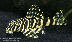 ISO looking for L134 plecos