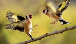 Wanted European Gold finches And Spanish Timbrado Canaries
