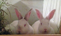 Breeding Meat Rabbit Does, bucks, babies, cages supplies avail