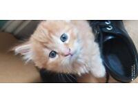 Beautiful Tabby cross Bengal kittens
