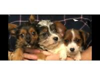 Maltease x Yorkshire terrier puppies