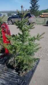 While spruce trees