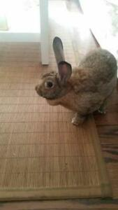 "Adult Female Rabbit - Flemish Giant: ""Lulu"""