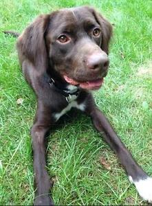 Young Male  - German Shorthaired Pointer-Labrador Retriever
