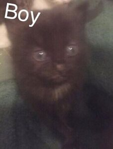 Kittens for sale Sawyers Gully Cessnock Area Preview