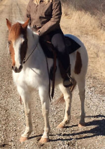 Registered APHA bombproof mare